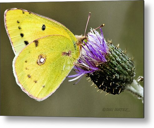 Butterfly Metal Print featuring the photograph Little Yellow On Bullthistle by Don Durfee