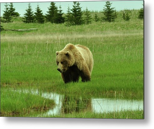 Grizzly Bears Metal Print featuring the photograph No Salmon Yet by Dennis Blum