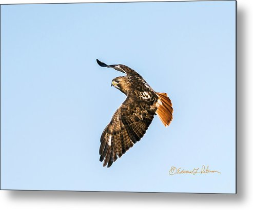 Red-tailed Hawk Metal Print featuring the photograph Red-tail Hawk In Flight by Edward Peterson