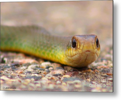 Art Metal Print featuring the photograph Smooth Green Snake ... Montana Art Photo by GiselaSchneider MontanaArtist