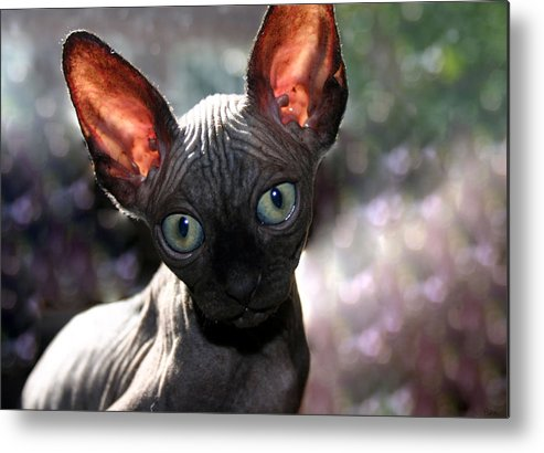 Cat Metal Print featuring the photograph Wee Little Kitten by Ruben Flanagan