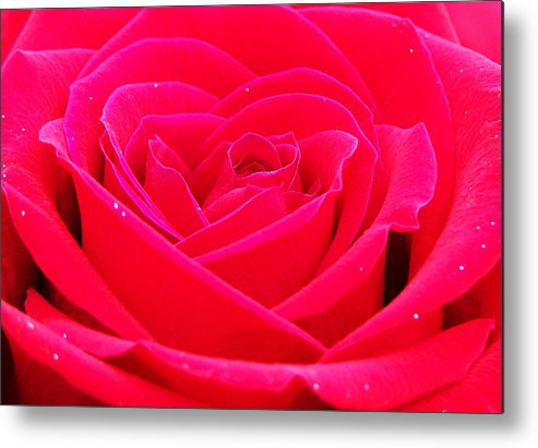 Rose Metal Print featuring the photograph Whole Lotta Rosie by Karen Scovill