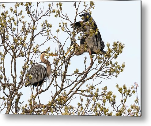 Great Blue Herons Metal Print featuring the photograph Trading Places 2019 by Thomas Young
