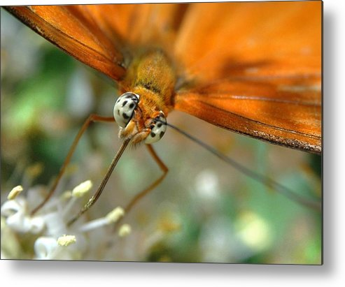 Butterfly Metal Print featuring the photograph Eyes Wide Open by Dan Holm