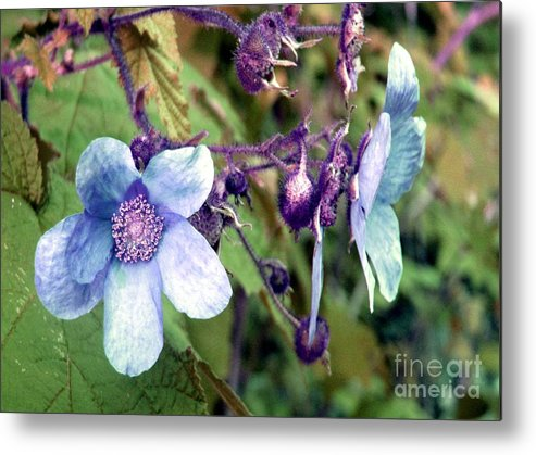 Rose Metal Print featuring the photograph Wild Blue Rose by Robert Burns