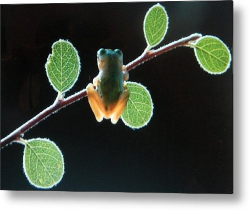 Metal Print featuring the photograph Exotic Frogs by Gunter Hortz