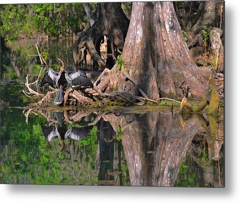 Florida Metal Print featuring the photograph American Anhinga Or Snake-bird by Christine Till