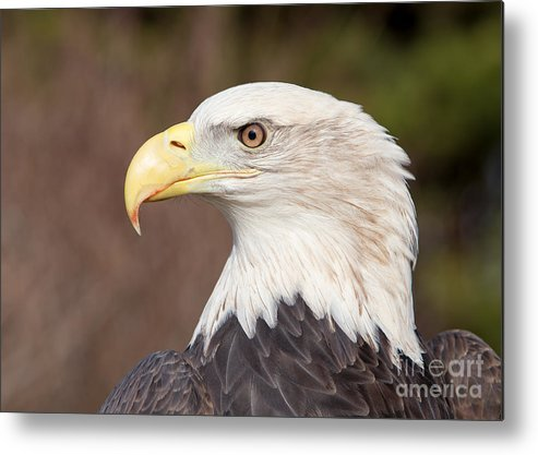 1dx Metal Print featuring the photograph Bald Eagle by Joshua Clark