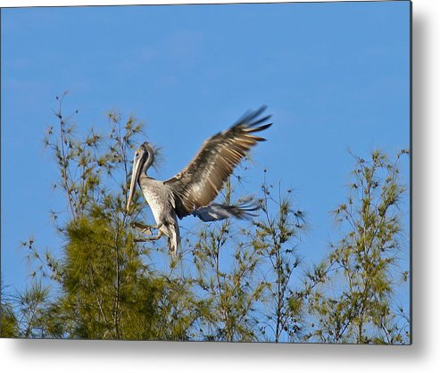 Pelican Metal Print featuring the photograph Brown Pelican Landing by Denise Mazzocco