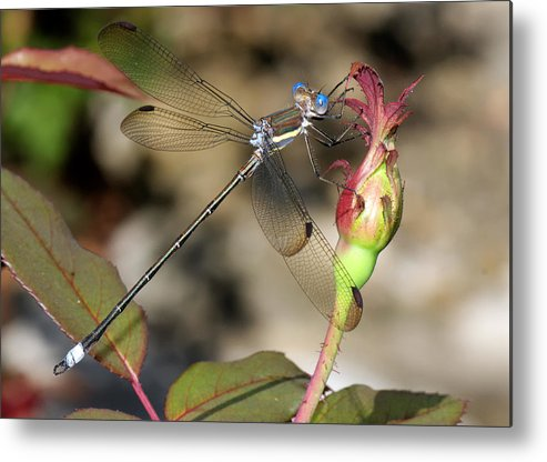Beautiful Metal Print featuring the photograph Damselfly Close-up by Charles Feagans