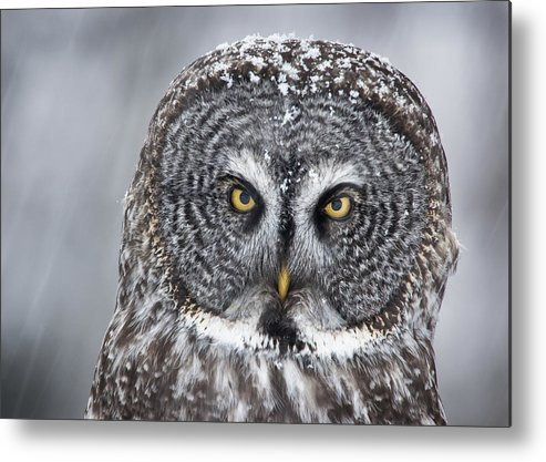 Nis Metal Print featuring the photograph Great Gray Owl Scowl Minnesota by Benjamin Olson