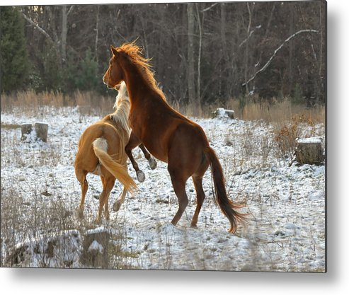 Paul Lyndon Phillips Metal Print featuring the photograph Horses At Play - 10dec5690b by Paul Lyndon Phillips