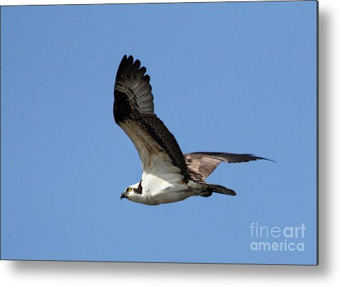 Osprey Metal Print featuring the photograph Osprey In Flight by Michelle Tinger