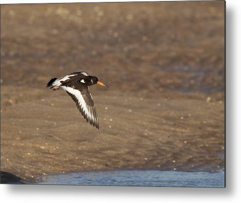 Oystercatcher Metal Print featuring the photograph Oystercatcher 2 by Simon Gregory