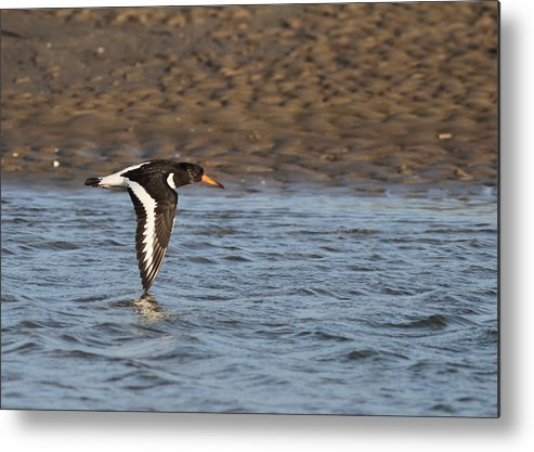 Oystercatcher Metal Print featuring the photograph Oystercatcher 3 by Simon Gregory