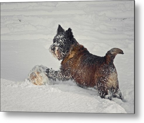 Terrier Metal Print featuring the photograph Play Ball by Odd Jeppesen