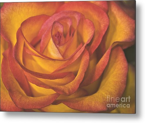 Rose Metal Print featuring the photograph Pretty Rose by Timothy Flanigan and Debbie Flanigan Nature Exposure