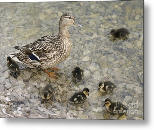 Duck Metal Print featuring the photograph Proud Mother by David Birchall