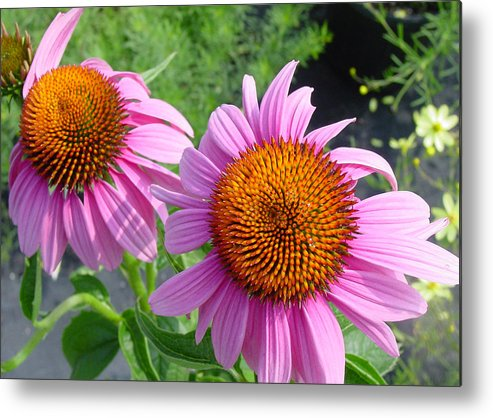 Flower Metal Print featuring the photograph Purple Coneflowers by Suzanne Gaff