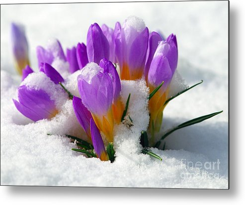 Crocuses Metal Print featuring the photograph Purple Crocuses In The Snow by Sharon Talson