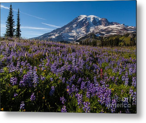 Rainier Metal Print featuring the photograph Purple Fields Forever And Ever by Mike Reid