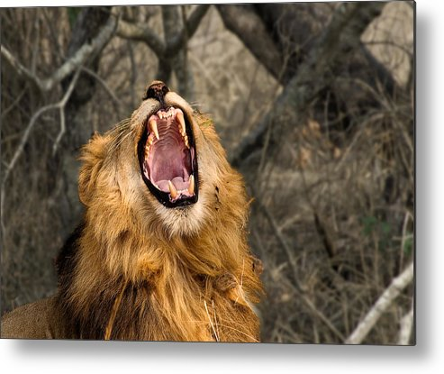 Lion Metal Print featuring the photograph Roar by Gil Weiner