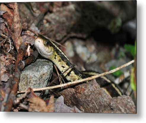 Snake Metal Print featuring the photograph Sneaky Snake by Sherri Quick