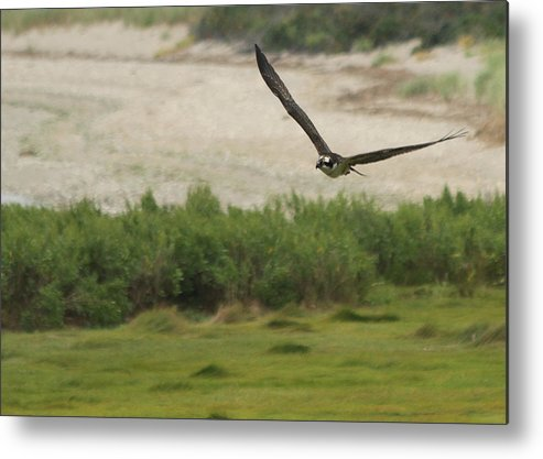 Osprey Metal Print featuring the photograph Soaring Osprey by Heidi Piccerelli