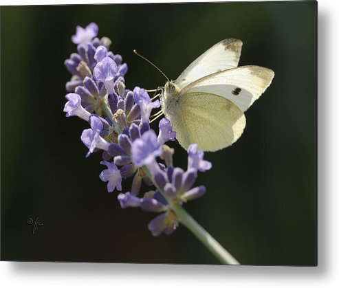 Insect Metal Print featuring the photograph Spot by Arthur Fix