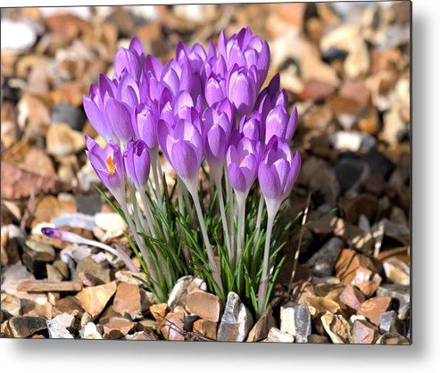 Spring Flowers Metal Print featuring the photograph Springflowers by Gordon Auld