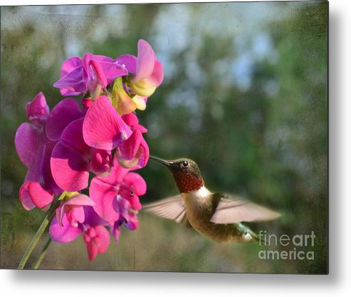 Nature Metal Print featuring the photograph Sweet Pea Hummingbird by Debbie Portwood