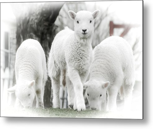 Lamb Metal Print featuring the photograph the Lamb is watching by Path Joy Snyder