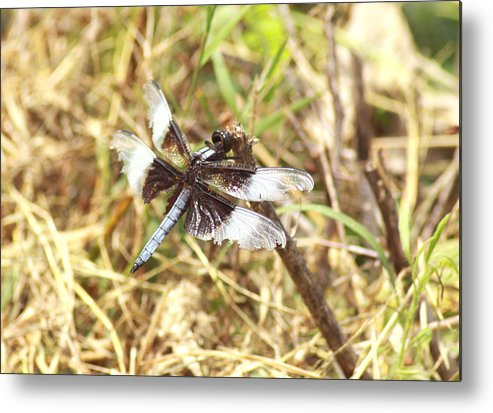 Dragonfly Metal Print featuring the photograph Widow Skimmer by Greg Thiemeyer
