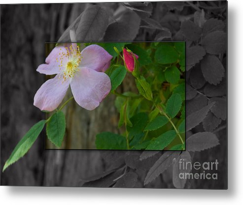Nature Metal Print featuring the photograph Wild Rose Out Of Bounds 2 by June Hatleberg Photography