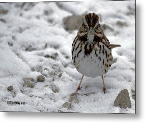 Ohio Metal Print featuring the photograph Snow Sparrow by Brian Stevens