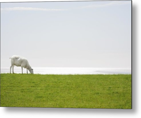 Horizontal Metal Print featuring the photograph A Sheep Grazing With The Sea On The Horizon by Luxx Images