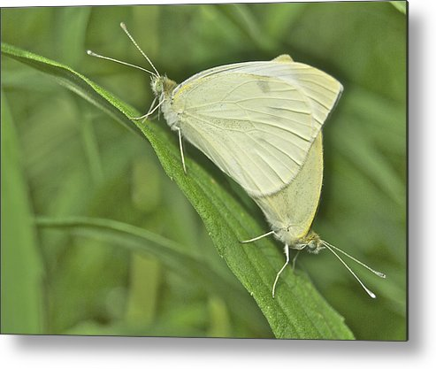 Animal Metal Print featuring the photograph Cabbage White Butterflies 5267 by Michael Peychich