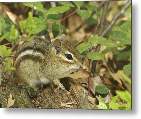 Chipmunk Metal Print featuring the photograph Chipmunk by Michael Peychich