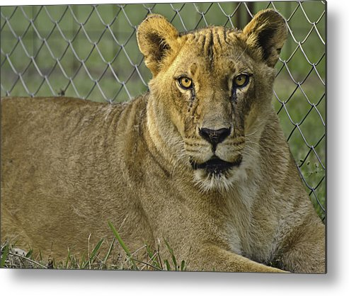 Animals Metal Print featuring the photograph Female Lion by Melany Sarafis