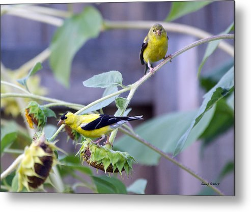 Goldfinch Metal Print featuring the photograph Goldfinch Pair by Stephen Johnson