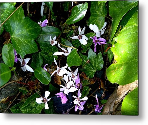 Hardy Cyclamen Metal Print featuring the photograph Hidden Jewels by Sandra Maddox