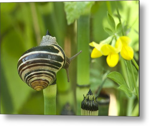 Snail Metal Print featuring the photograph Land Snail 5698 by Michael Peychich