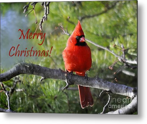 Nava Jo Thompson Metal Print featuring the photograph Merry Christmas Cardinal by Nava Thompson