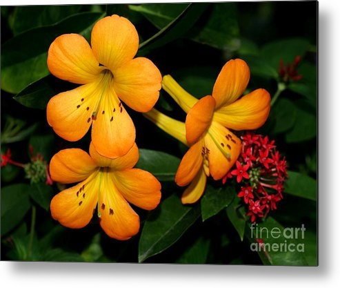 Rhododendron Metal Print featuring the photograph Orange Rhododendron Flowers by Sabrina L Ryan