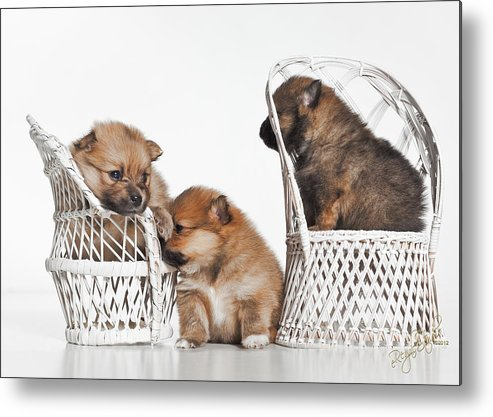 Puppies Metal Print featuring the photograph Pomeranian 3 by Everet Regal