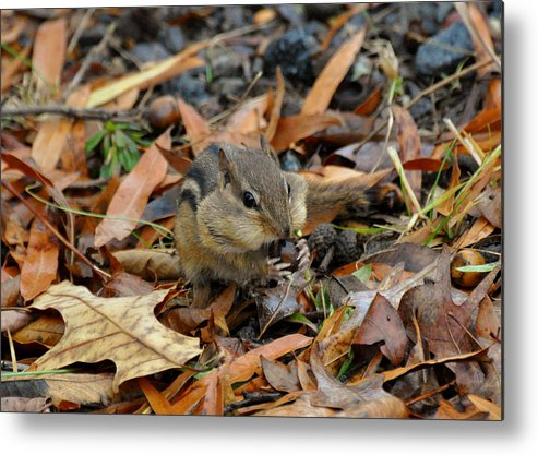 Paul Lyndon Phillips Metal Print featuring the photograph Pouch Filling Chipmunk - C3041a by Paul Lyndon Phillips