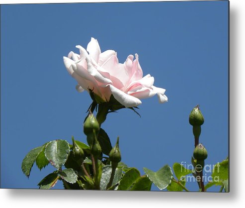 Roses Metal Print featuring the photograph Spring Beginning by Janet Dickinson