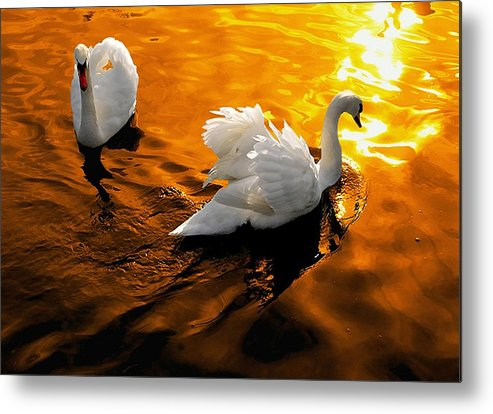 Swan Metal Print featuring the photograph Swanlight by Stephen Bowden