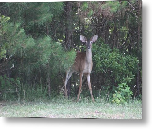 Deer Metal Print featuring the photograph Young Deer Peering Out Of The Woods by Jeanne Kay Juhos