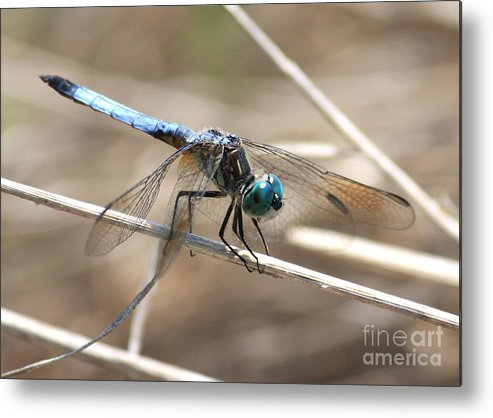 Dragonfly Metal Print featuring the photograph Big Blue by Carol Groenen